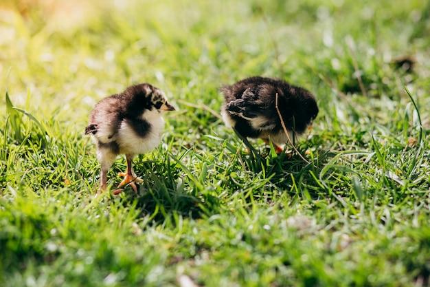 Zwei chiken im grünen gras