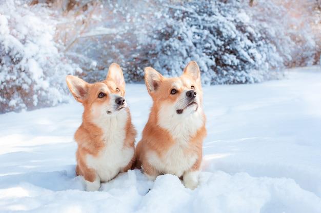Zwei corgi-hunde auf einem winterspaziergang
