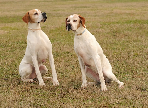 Zwei deutsche kurzhaarige zeigerhunde