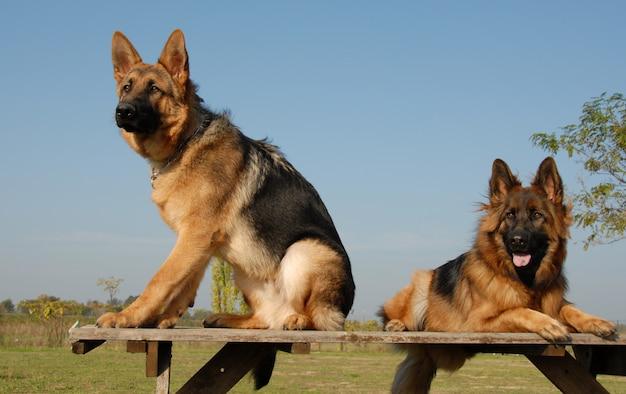 Zwei deutsche schäferhunde