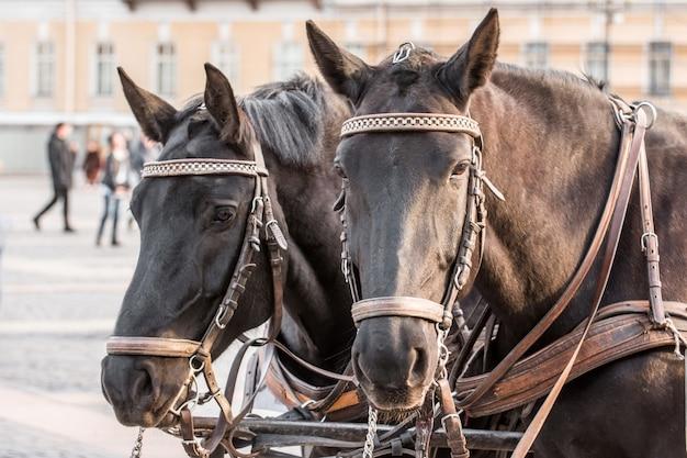 Zwei dunkle köpfe eines pferdes nahaufnahme in einem geschirr