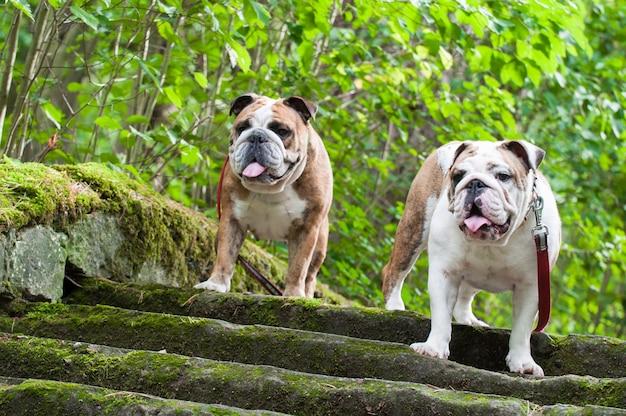 Zwei englische bulldogge oder britische bulldoggenhunde auf der treppe