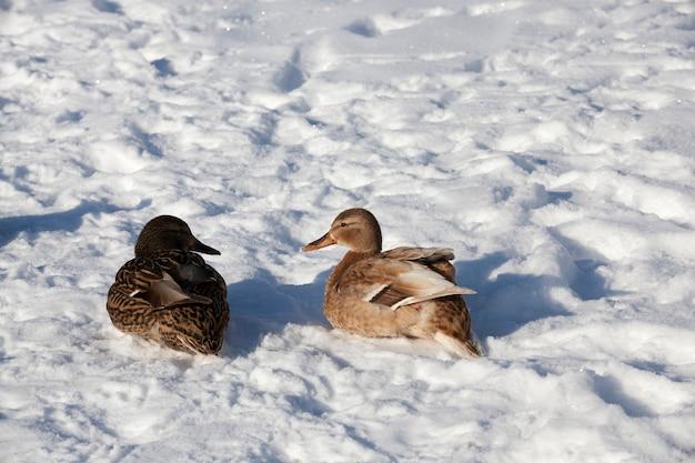 Zwei enten überwintern in europa, die wintersaison mit viel schnee und frost, ein paar enten leben in einer stadt in der nähe des flusses, im winter werden sie von menschen gefüttert