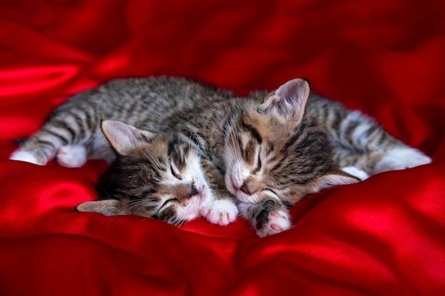 Zwei entzückende gestreifte kätzchen, die schlafend auf roter decke liegen. nette haustiere katzen, valentinstag und weihnachtskarte