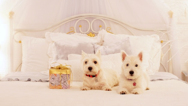 Zwei entzückende hunde erhielten ein weihnachtsgeschenk. zwei kleine hunde auf dem bett im schlafzimmer