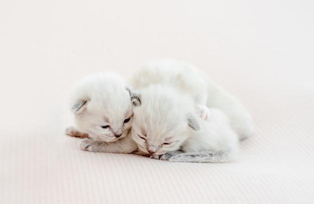Zwei entzückende kleine ragdoll-kätzchen, die zusammen liegen und schlafen sleeping