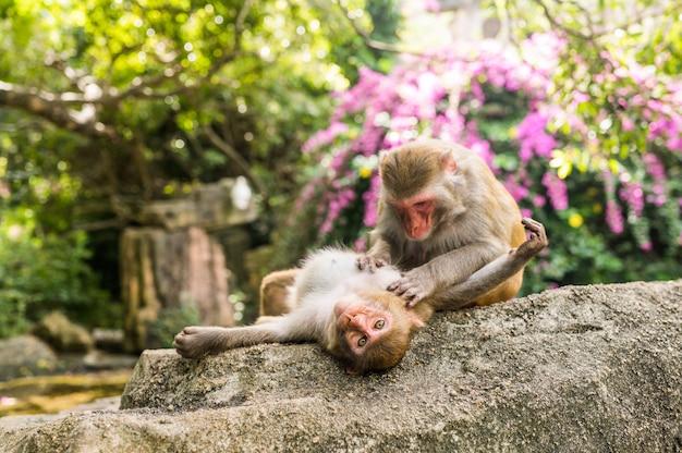 Zwei erwachsene rote gesichtsaffen rhesusaffe, der im tropischen naturpark von hainan, china sich pflegt. frecher affe in der natürlichen waldfläche. szene der wild lebenden tiere mit gefahrentier. macaca mulatta.