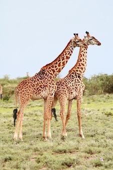 Zwei erwachsene wilde giraffe, die nebeneinander auf dem hintergrund des afrikanischen busches, serengeti-nationalpark, tamzania steht.