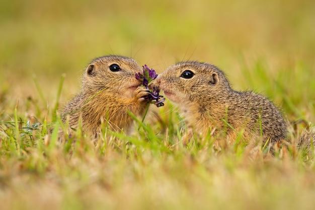 Zwei europäische grundeichhörnchen, die eine blume auf einer wiese berühren