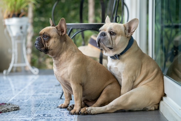Zwei französische bulldogge, die am morgen auf dem balkon sitzt.
