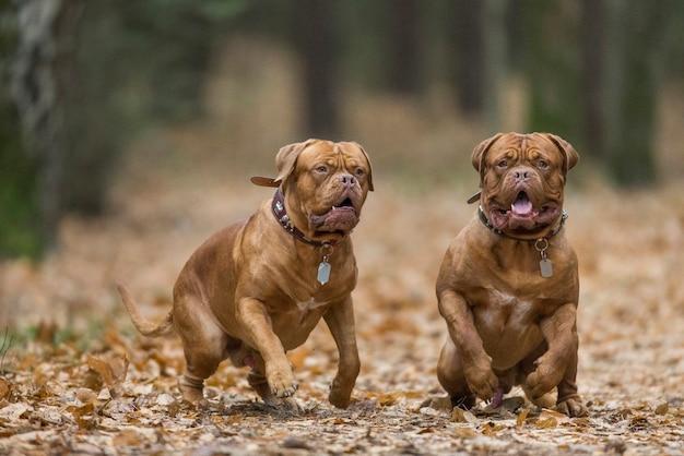 Zwei französische mastiffs spielen im herbstpark.