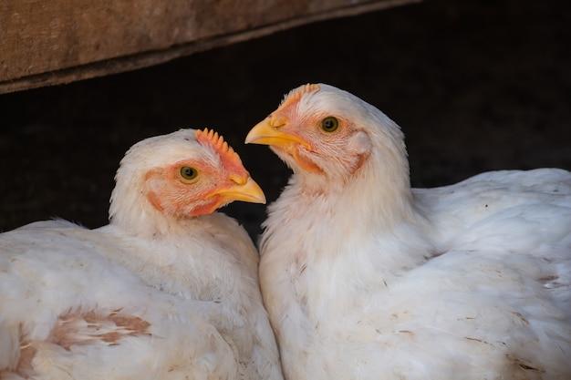 Zwei freundinnen weiße hühner schauen neugierig in die kamera