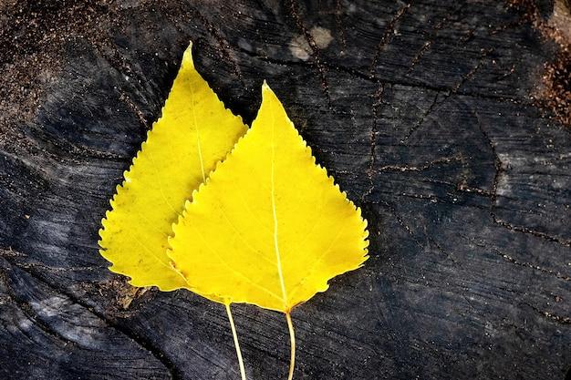 Zwei gelbe birkenblätter liegen auf einem alten stumpf