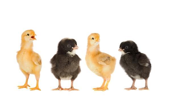 Zwei gelbe hühner und ein paar schwarze