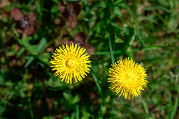 Zwei gelbe löwenzahnblumen auf dem feld
