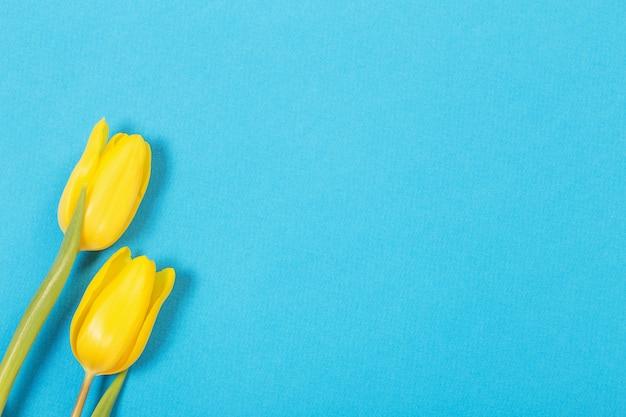 Zwei gelbe tulpen auf blauer oberfläche