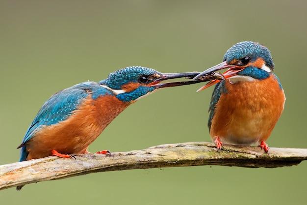 Zwei gemeine eisvögel, alcedo atthis, die einen fisch an einen anderen weitergeben.