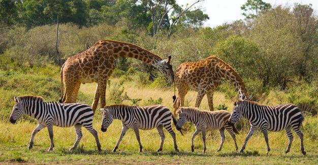 Zwei giraffen in der savanne mit zebras.