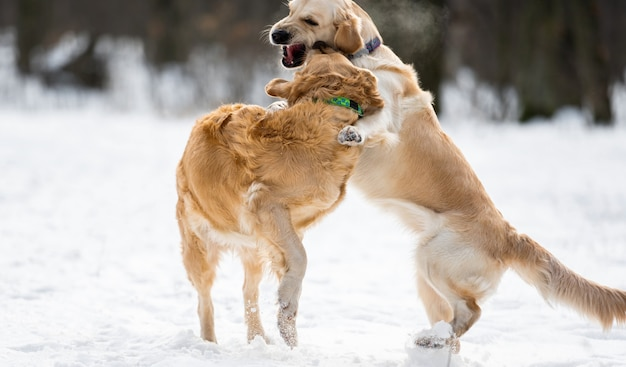 Zwei golden retriever-hunde, die im winter mit schnee zusammen im freien spielen