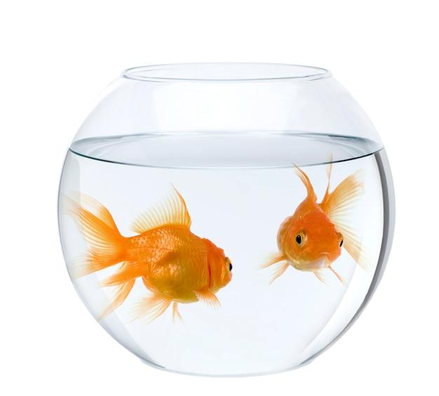 Zwei goldfische in der fischschale isoliert