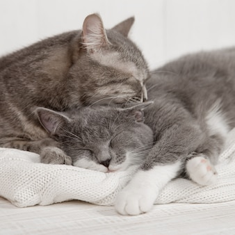 Zwei graue katzen schlafen zusammen, umarmen sich und kümmern sich. zeigen sie zärtlichkeit, legen sie sich auf einen weichen weißen strickpullover.