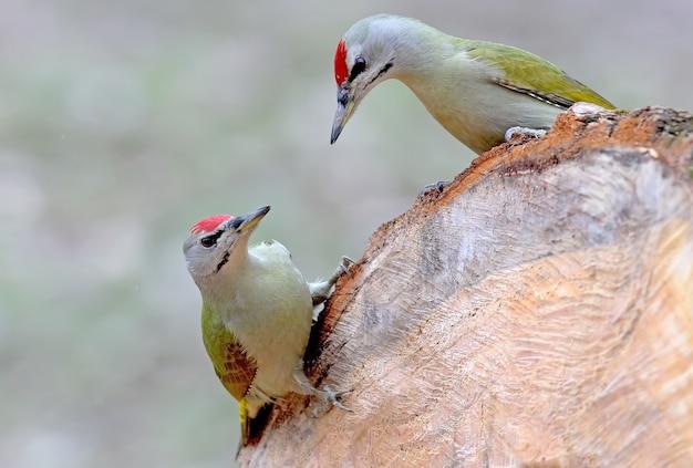 Zwei grauspecht auf dem baumstamm. interessante und ungewöhnliche momente aus dem leben und verhalten von vögeln.