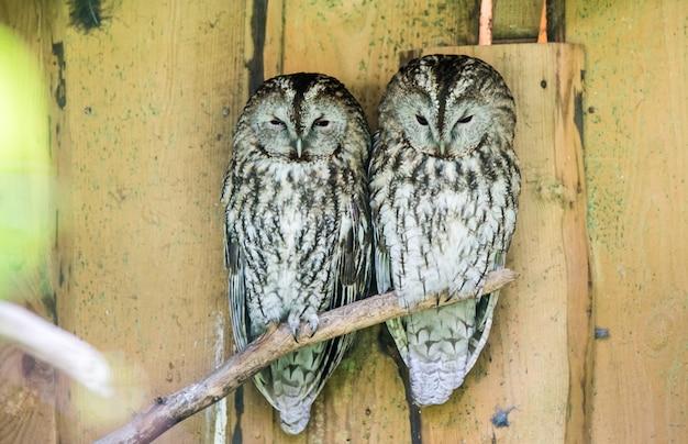 Zwei große graue eulen schlafen nebeneinander