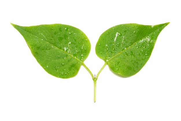 Zwei grüne lila blätter isoliert.