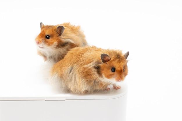 Zwei hamster nahaufnahme isoliert auf weiss