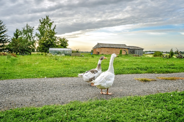 Zwei hausgänse, die auf dem gras gehen. ländliche landschaft.