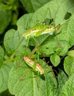 Zwei heuschrecken, ein männchen und ein weibchen, sitzen auf grünen kartoffelblättern
