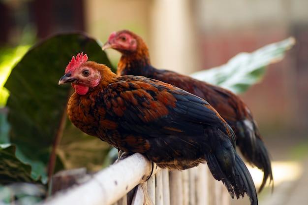 Zwei hühner auf einem zaun