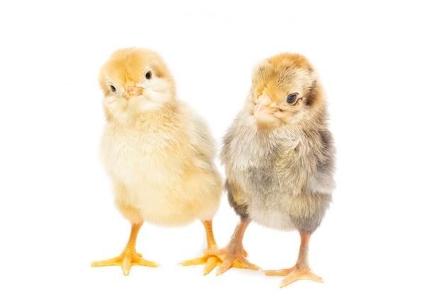 Zwei hühner auf weißem hintergrund