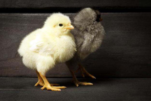 Zwei hühner, die gegen eine dunkle holzwand stehen