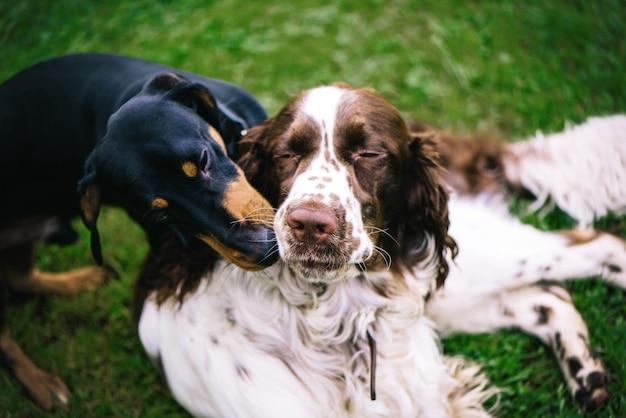 Zwei hunde, die im gras rau spielen