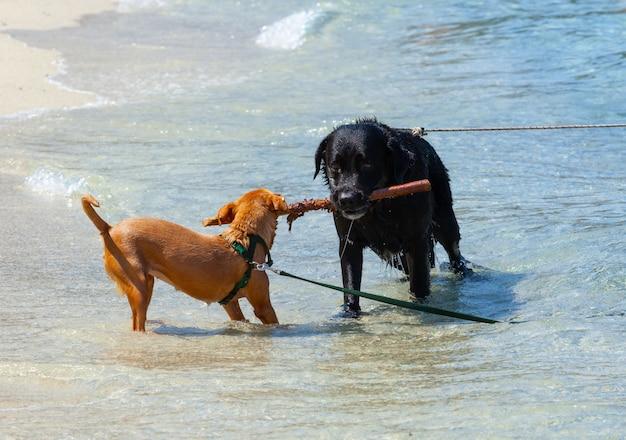 Zwei hunde, die tauziehen mit stock auf dem strand spielen