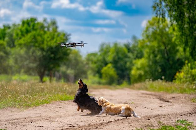 Zwei hunde kleiner rassen spielen im freien. grüner naturhintergrund. ingwer und schwarzer hund.