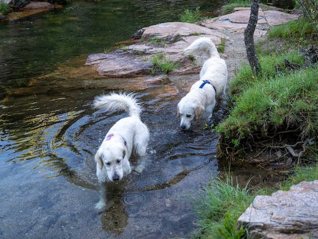 Zwei hunde laufen am ufer eines flusses entlang. zwei hunde mit geschirr in einem teich am ufer.