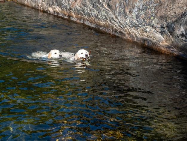 Zwei hunde schwimmen in einer lagune. zwei hunde lernen an einem sonnigen tag zusammen in einem fluss zu schwimmen, ein hund trägt äste im maul.