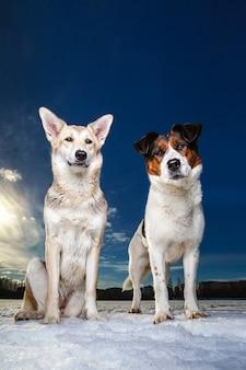 Zwei hunde sitzen und betrachten die kamera auf einem winterfeld.