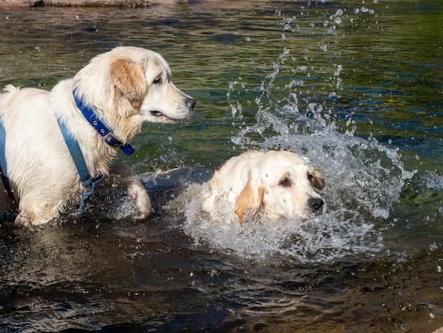 Zwei hunde spielen in einem see. hunde, die an einem sonnigen tag in einer lagune schwimmen.