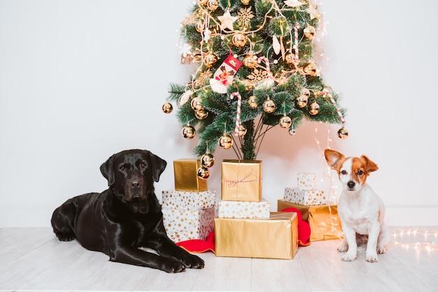 Zwei hunde zu hause durch den weihnachtsbaum, den niedlichen jack russell-hund und das schwarze labrador. brüder