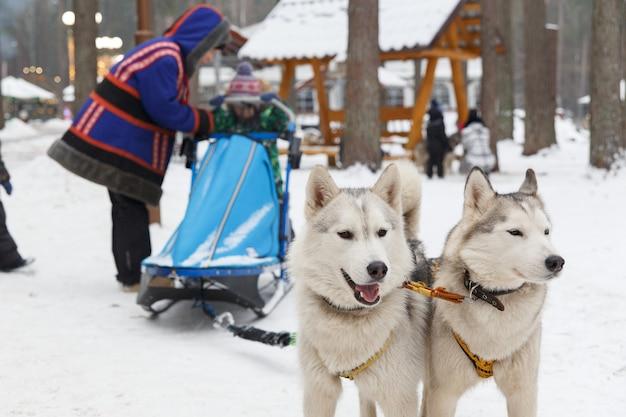Zwei husky-hunde in einem team werden zum rodeln von kindern eingesetzt