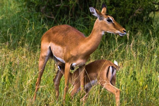Zwei impalas: mutter und baby. tarangire, tansania
