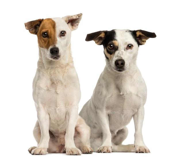 Zwei jack russell terrier sitzen und schauen in die kamera