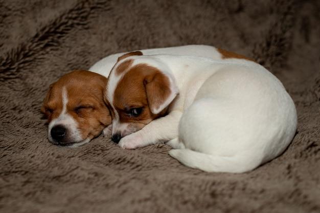 Zwei jack russell welpen schlafen auf braunen decken.