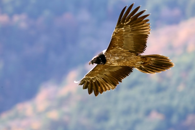 Zwei jahre lammergeier fliegen, aasfresser, geier, vögel, falke, gypaetus barbatus