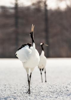 Zwei japanische kraniche laufen zusammen im schnee und schreien paarungsgeräusche. japan. hokkaido. tsurui.