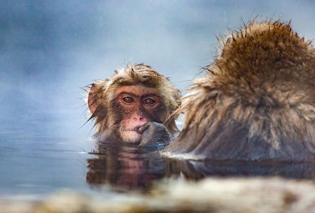 Zwei japanische makaken sitzen im wasser
