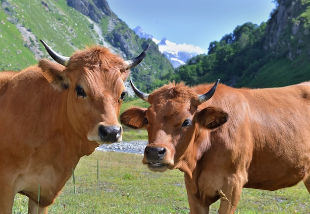 Zwei junge alpine braune kühe in der weide auf berghintergrund